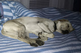 Big dog enjoying the comfort of sleeping on owner's bed.