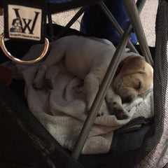 Puppy asleep in Wrapsit slipcover crate covered chair