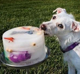 outdoors, dog treats, dogs, Puppy licking a treat-filled cake of ice.