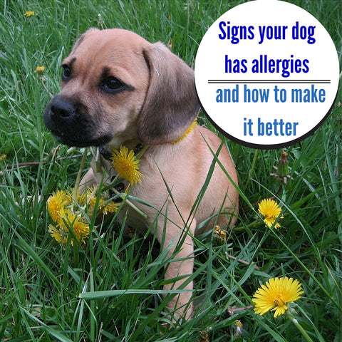 pet allergies, dog allergies, contact allergies, pet crate, dog booties Puppy sitting among dandelions.