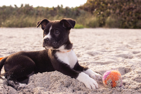 Black and white sand-covered puppy lying on a beach with his ball.