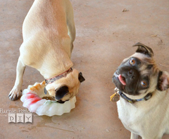 frozen dog treats Two pugs enjoying ice ring with toys frozen into it.