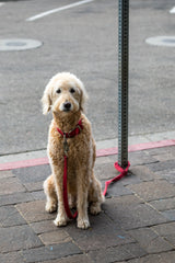 Large yellow labradoodle leashed to a post on the sidewalk. Photo by Jason Leung on Unsplash