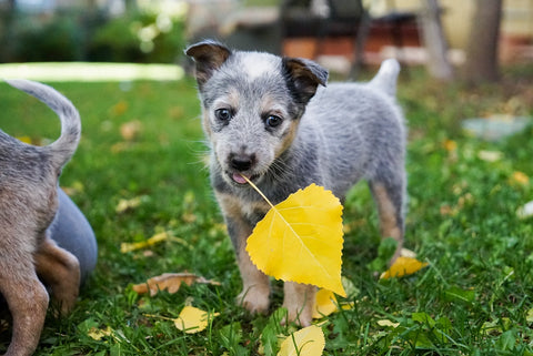 LeisureEase, LLC Blog, Dealing with your dog's chewing habits. Small gray dog chewing on leaf in garden.