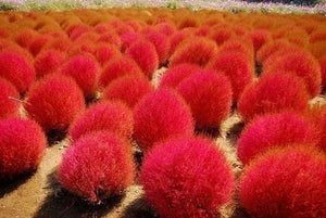 100 pos Red Kochia Deep Skin Seed Habitat Outdoor Courtyard Potted Planting