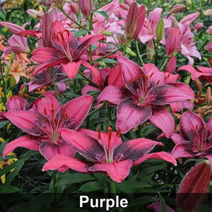 30 Pcs/Pack Lily Flower Seeds Rare Flowers Seeds Bonsai Plant Seeds for Garden Decor Ornamental
