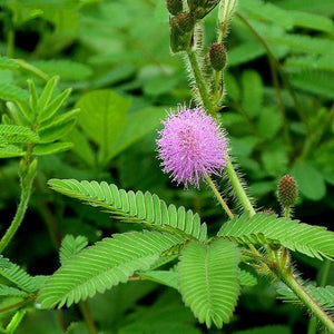 20pcs/bag Bashful Grass Seeds Mimosa Pudica Linn Foliage Mimosa Pudica Sensitive Bonsai Plant