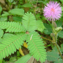 Load image into Gallery viewer, 20pcs/bag Bashful Grass Seeds Mimosa Pudica Linn Foliage Mimosa Pudica Sensitive Bonsai Plant