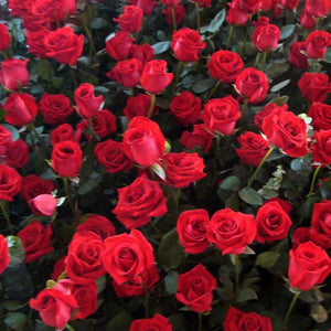 50Pcs Rose seeds in bulk and red roses in four seasons indoor flowers