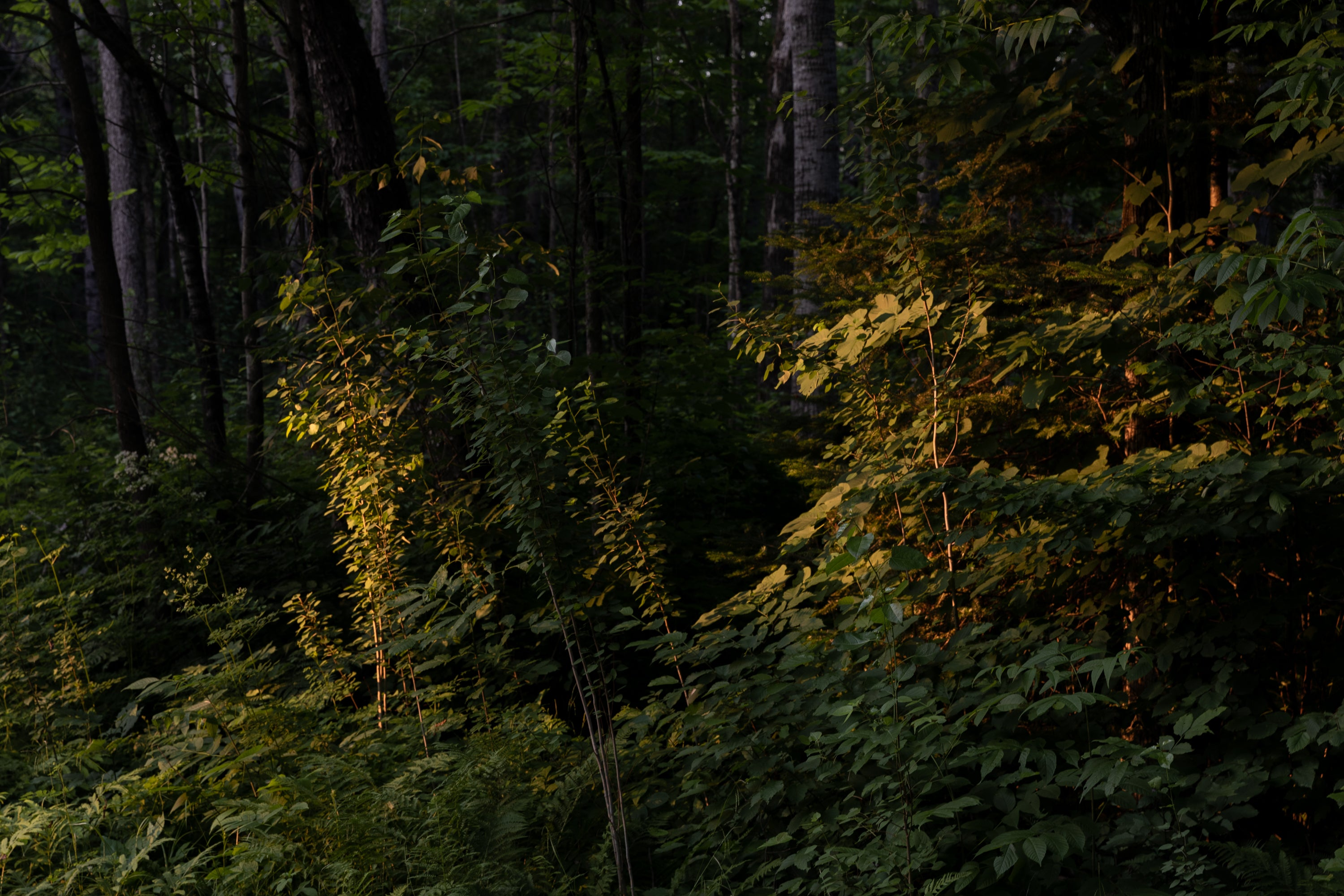 Lauren Kolyn - Trees at magic hour. Solo camping trip at Bon Echo. July 2019