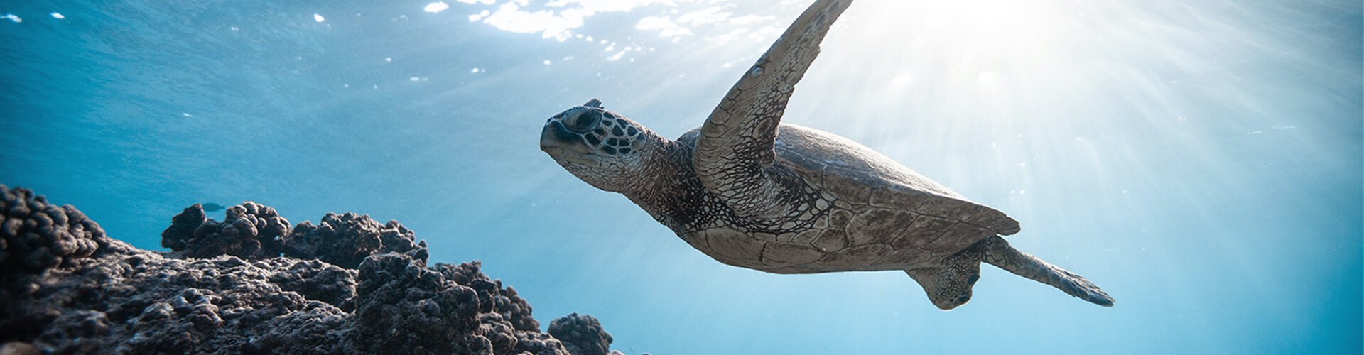 Green Sea Turtle gliding over coral reef. Plastic Free July