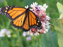 Load image into Gallery viewer, Butterfly Milkweed, Asclepias tuberosa