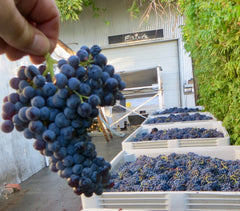 Cluster of Grenache grapes.