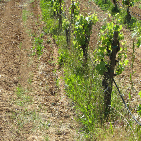 Vineyard view with weeds in vine row.