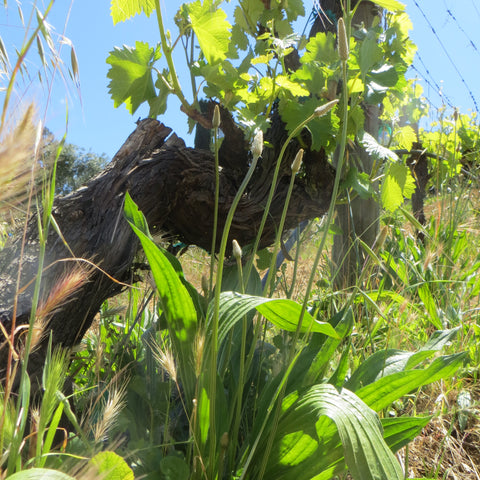 Plantain weed plant in the vineyard