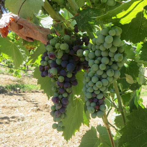 grape clusters changing color from green to purple