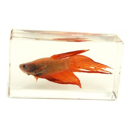 Real Siamese Fighting Fish Paperweight
