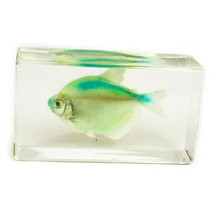 Real Tetra fish Paperweight