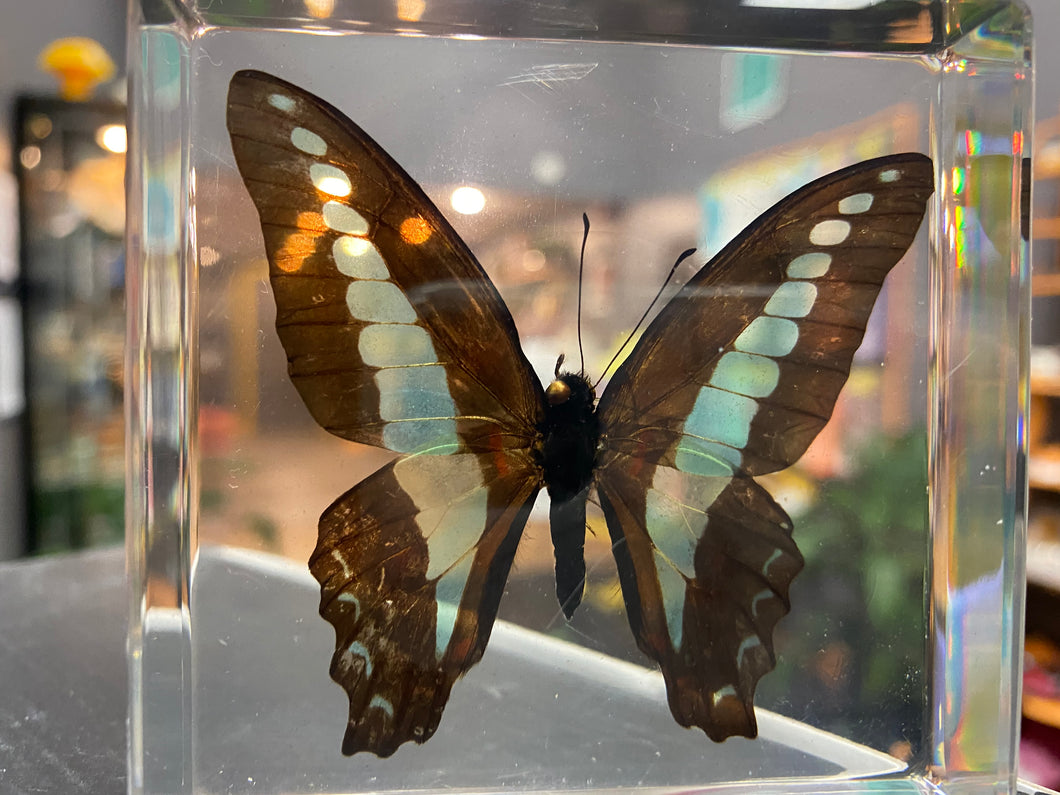 Real Blue Bottle Butterfly Paperweight