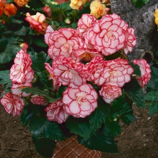 Begonia seed four seasons office balcony potted flower seeds 20pcs/pack(qiu gen hai tang)