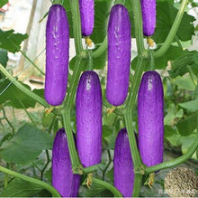 Load image into Gallery viewer, 100Pcs Japanese Rare Purple Cucumber Seeds Organic Vegetable Seeds Fruit Seed Bonsai Plants Home Garden Decor