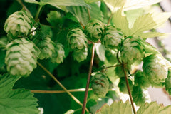 Home brew beer hops growing organically