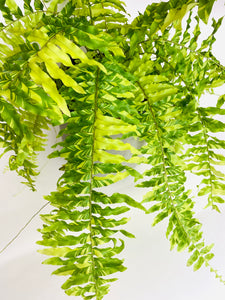Golden Boston Fern (Nephrolepis exalata)