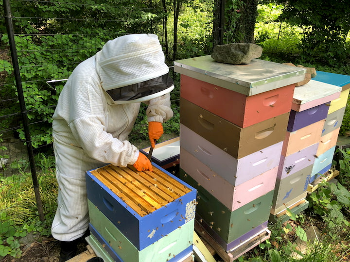 inspecting the beehives
