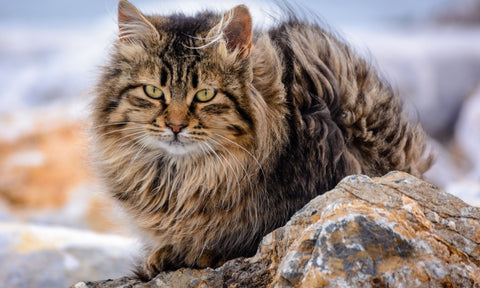 Maine Coons have some genetic health issues that can be problematic, particularly if you don't buy from a reputable source. Hypertrophic cardiomyopathy, hip dysplasia, and spinal muscular atrophy are among them. The most common type of heart disease in cats is hypertrophic cardiomyopathy (HCM).