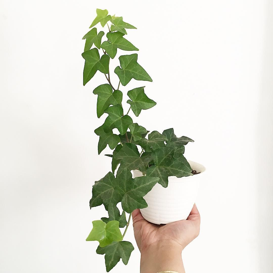 How to Care for Your English Ivy Plant