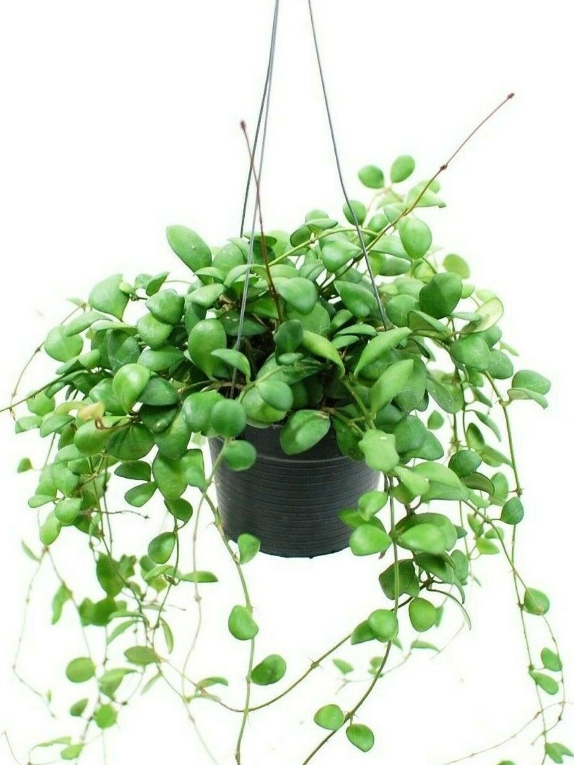 How to Care for Your Hoya Plant