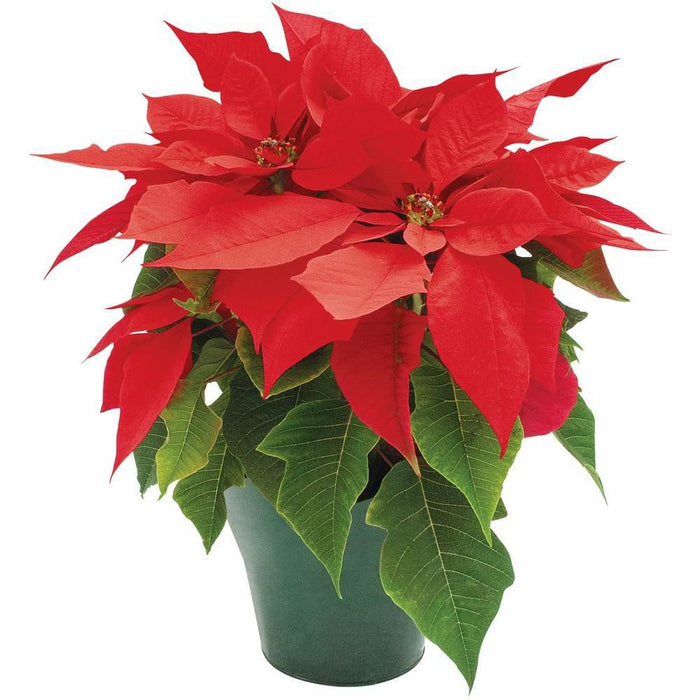 How to Care for Your Poinsettia Plants