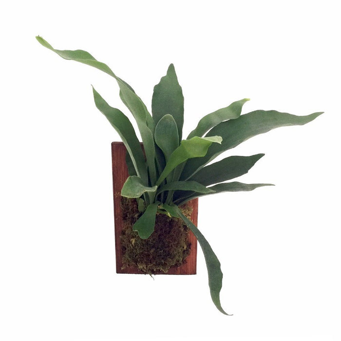 How to Care for Your Staghorn Fern