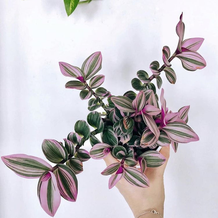 How to Care for Your Tradescantia Nanouk