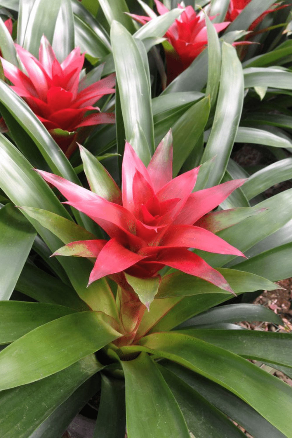 How to Care for Your Bromeliad Plant