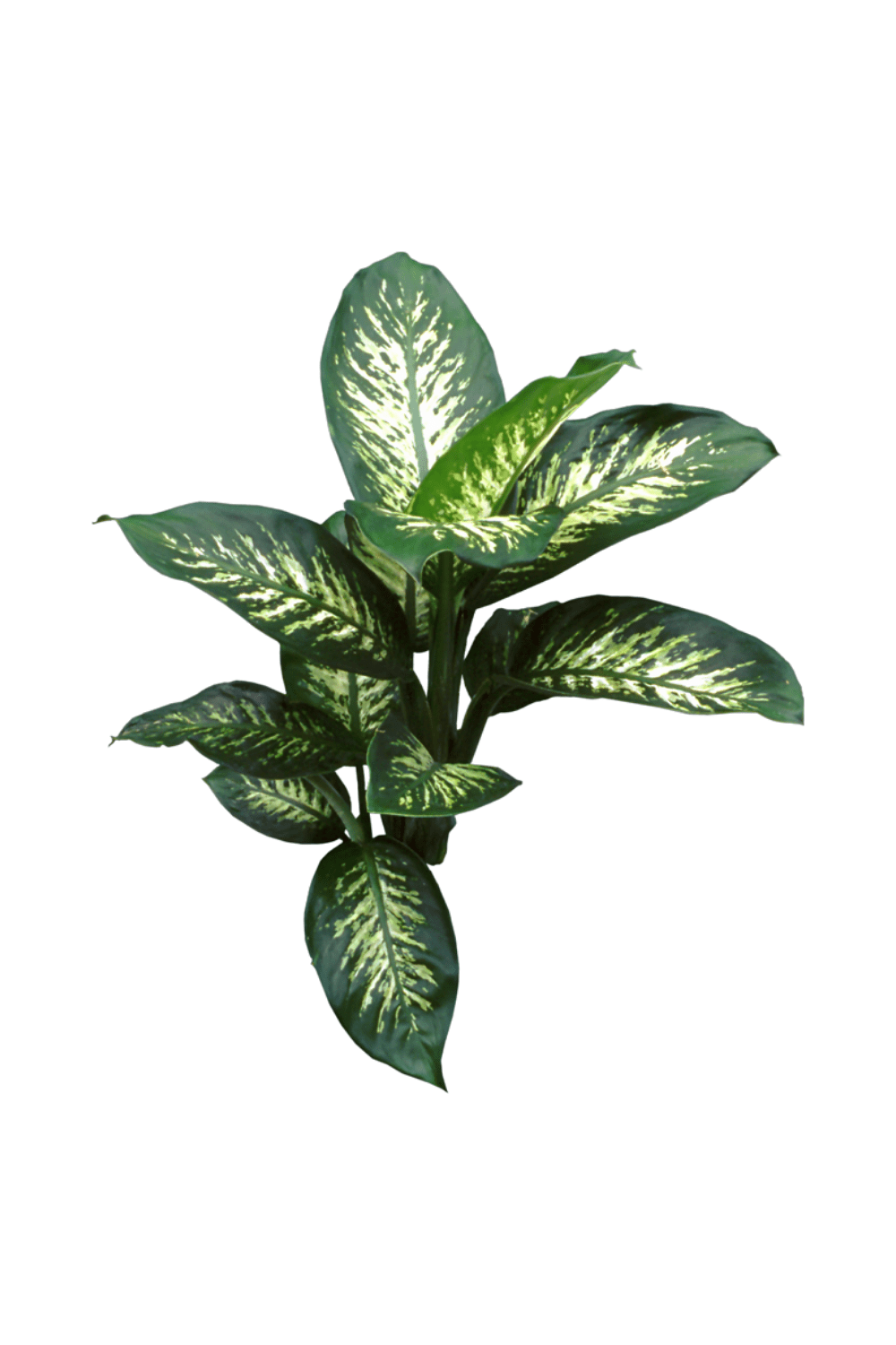 How to Care for Your Dumb Cane Plant