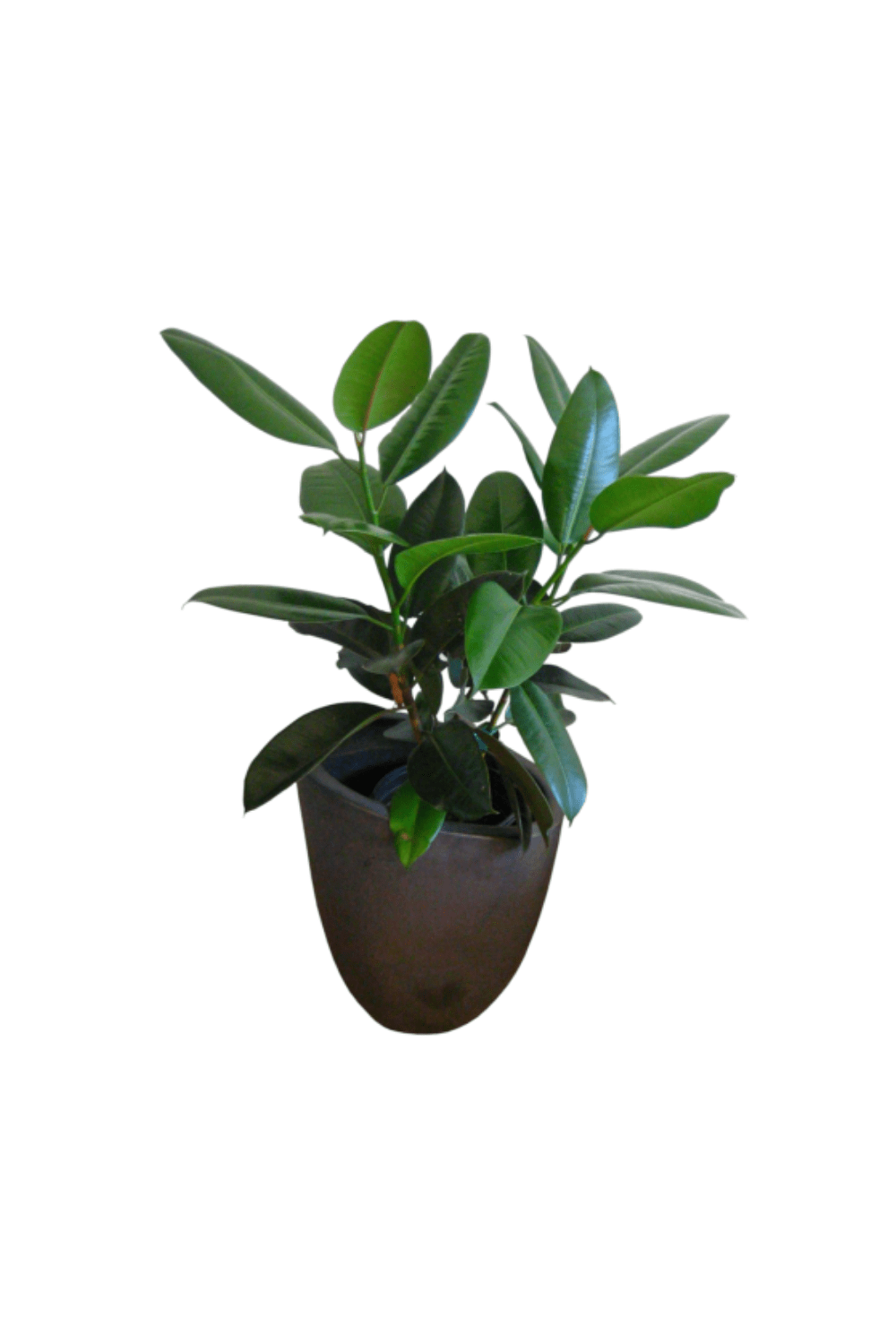 How to Care for Your Rubber Tree