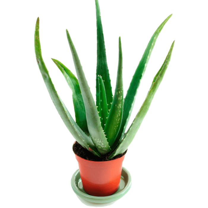 How to Care for Your Aloe Vera Plant