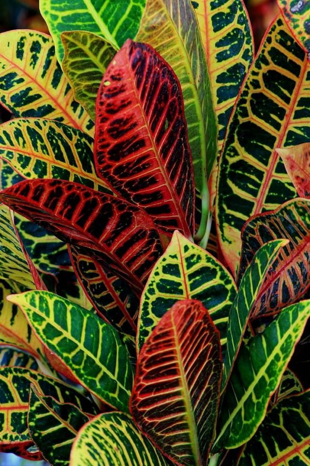 How to Care for Your Croton Plant