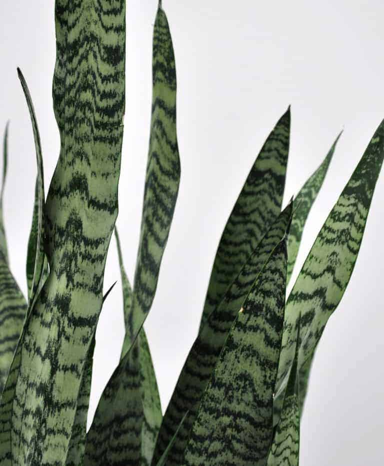 How to Care for Snake Plant