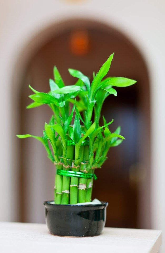 How to Care for Your Lucky Bamboo