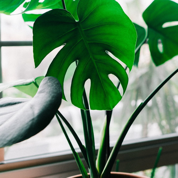 How To Care for Monstera