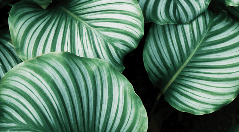 How to Care for Your Calathea Medallion
