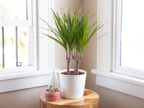 How to Care for Your Dragon Tree