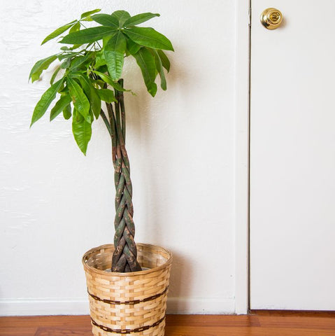 How to Care for Your Money Tree