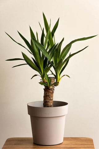 How to Care for Your Yucca Cane