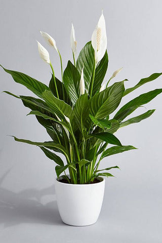 Home Office Plants For Productivity