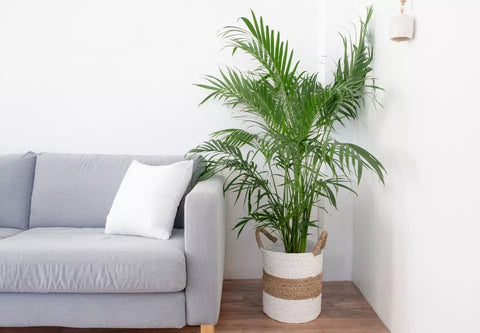How to Care for Your Indoor Palm Tree