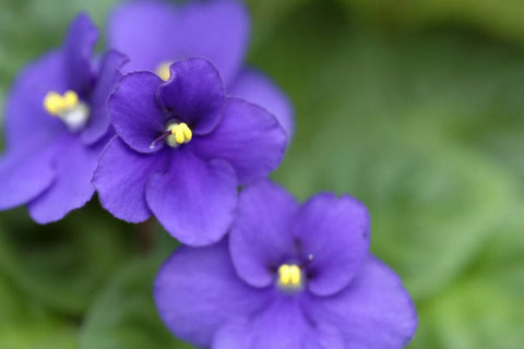 How to Care for Your African Violets