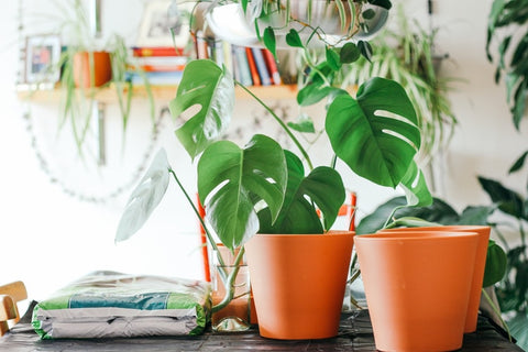 How to Care for a Monstera